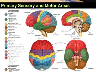 Primary Sensory and Motor Areas