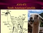 AVS 471 South American Camelids