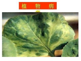 植 物 病 毒