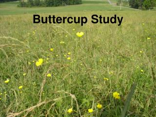 Buttercup Study