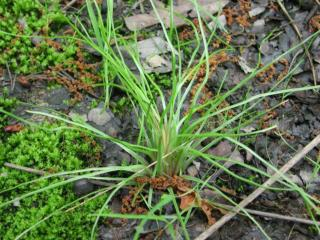 Grass, Sedge, Rush, or Something Else?