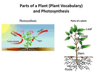 Parts of a Plant (Plant Vocabulary ) and Photosynthesis