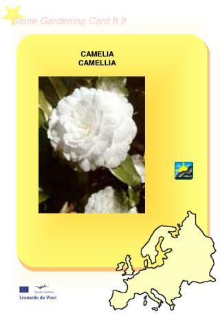 CAMELIA CAMELLIA