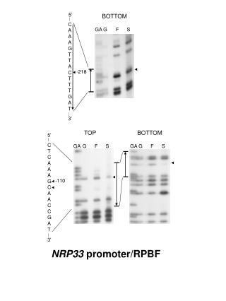 NRP33 promoter/RPBF