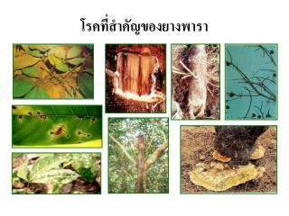 โรคที่สำคัญของยางพารา
