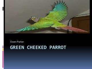 Green Cheeked Parrot
