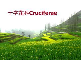 十字花科 Cruciferae