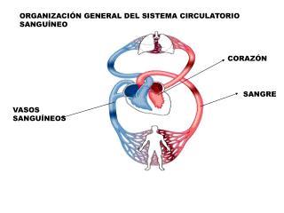 ORGANIZACIÓN GENERAL DEL SISTEMA CIRCULATORIO SANGUÍNEO