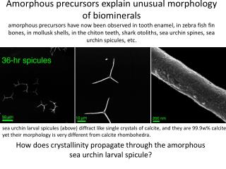 How does crystallinity propagate through the amorphous sea urchin larval spicule?