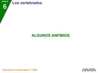 ANFIBIOS ANUROS (Sin cola)