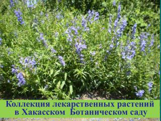 Коллекция лекарственных растений в Хакасском Ботаническом саду