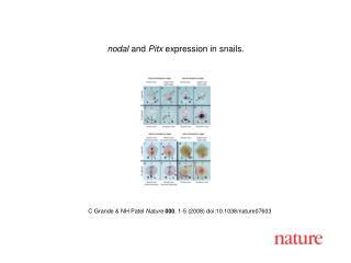C Grande & NH Patel  Nature 000 , 1- 5  (2008) doi:10.1038/nature0760 3