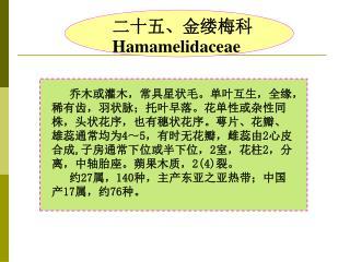 二十五、金缕梅科 Hamamelidaceae