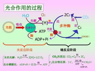 光合作用的过程