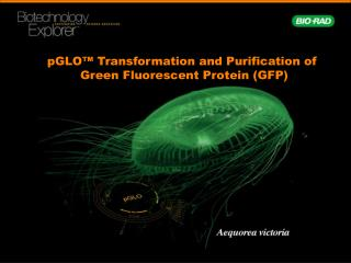 "pGLO â""¢ Transformation and Purification of  Green Fluorescent Protein (GFP)"