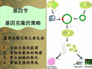 基因克隆过程主要包括 1 、目标片段的获得 2 、重组体载体的构建 3 、寄主细胞的转化 4 、重组克隆的筛选