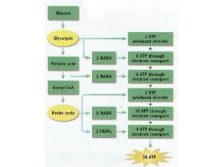 Cellular respiration-real life