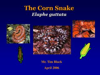 The Corn Snake Elaphe guttata