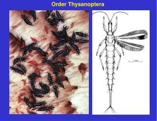 Order Thysanoptera