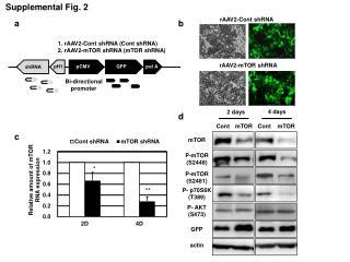 rAAV2-Cont shRNA