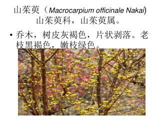 山茱萸( Macrocarpium officinale Nakai ) 山茱萸科,山茱萸属。