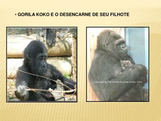 GORILA KOKO E O DESENCARNE DE SEU FILHOTE