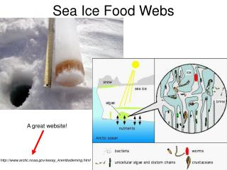 Sea Ice Food Webs