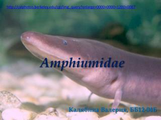 Amphiumidae