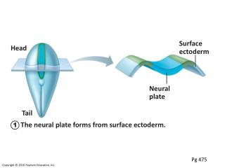 The neural plate forms from surface ectoderm.