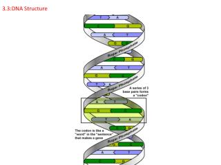 3.3:DNA Structure