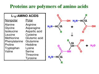 Proteins are polymers of amino acids