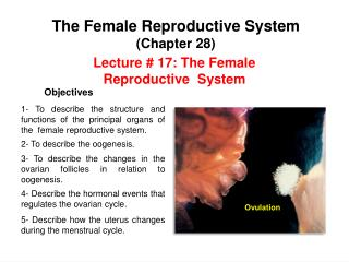 Lecture #  17 :  The Female Reproductive  System