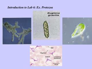 Introduction to Lab 6: Ex. Protozoa
