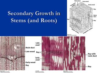 Secondary Growth in Stems (and Roots)