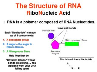 The Structure of RNA R ibo N ucleic  A cid