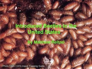 Introduced Beetles in the  United States