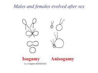 Males and females evolved after sex