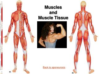 Muscles  and  Muscle Tissue