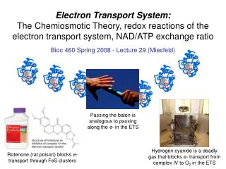 Electron Transport System: The Chemiosmotic Theory, redox reactions of the electron transport system, NAD/ATP exchange r