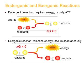 Endergonic and Exergonic Reactions