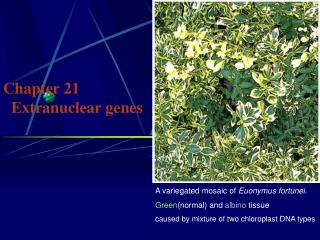 Chapter 21    Extranuclear genes