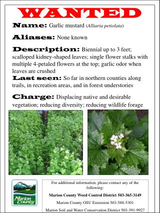 WANTED Name:  Garlic mustard  ( Alliaria petiolata ) Aliases:  None known