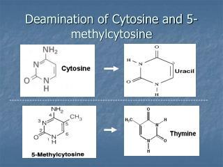 Deamination of Cytosine and 5-methylcytosine