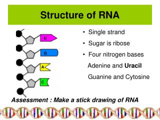 Structure of RNA