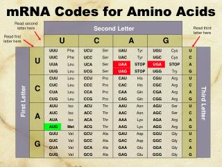 mRNA Codes for Amino Acids