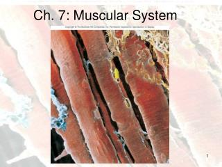 Ch. 7: Muscular System