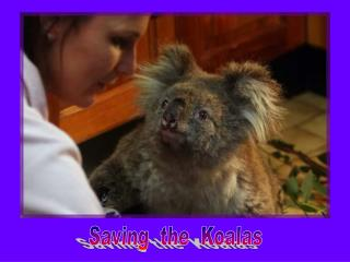 Saving  the  Koalas
