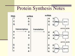 Protein Synthesis Notes