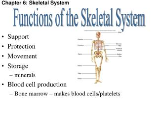 Chapter 6: Skeletal System