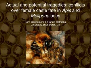 Actual and potential tragedies: conflicts over female caste fate in  Apis  and  Melipona  bees